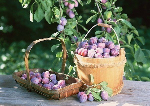 Увеличить плодоношение слив. Сливы на первый взгляд не прихотливое растение,но и у него есть маленькие секретики... Оказывается,что всем косточковым-сливе,вишне и др.,для формирования косточек нужен кальций,а его много содержится в извести-вот и помогают увеличить урожай побелка дерева таким составом: 1:1 глины и извести,наносится толстым слоем,этот прием еще и полезен тем,что предотвращает растрескивание коры дерева весной и потери влаги.Известь можно вносить и с водой,при поливе:1 ст л на…