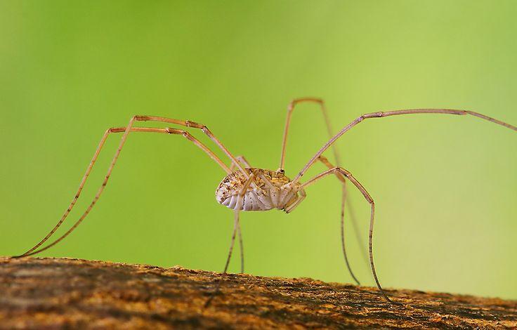 spider--good 'ole granddaddy long legs