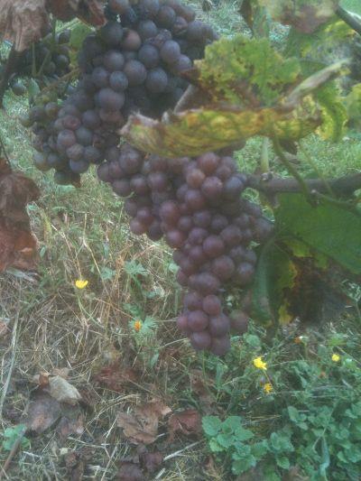Pinot Noir Grapes on vine, Chateau Le Barreau, Yonne