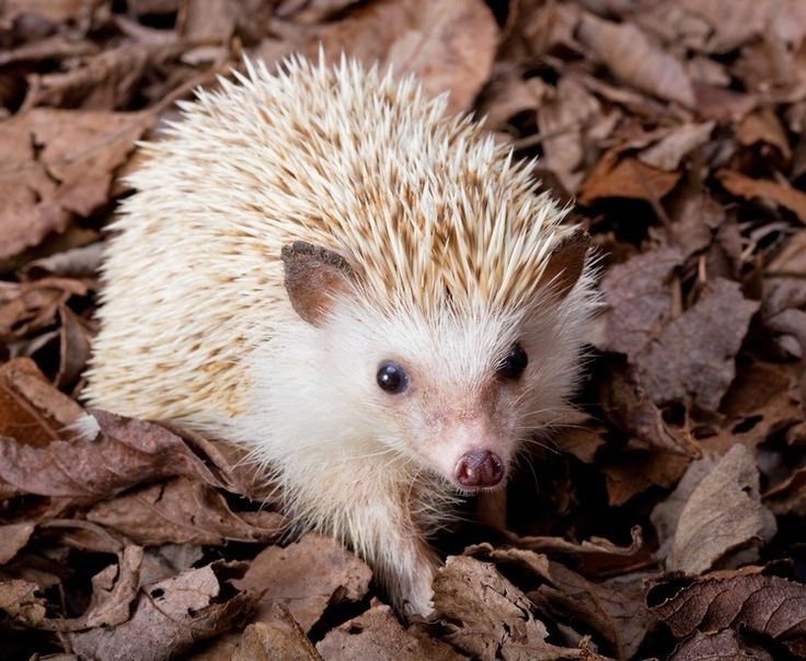 African pygmy hedgehog in the leaves