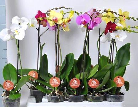 Як змусити орхідею знову зацвісти