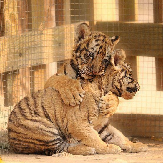 Baby Tiger Hugs