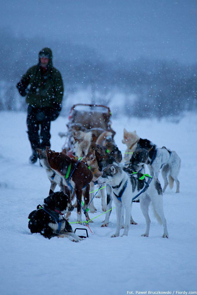 Psie zaprzęgi w okolicach Tromsø, Norwegia. Psy zaprzęgnięte do sań. Pora wyruszać. #Norwegia #Tromsø #fiordy #emocjewcenie