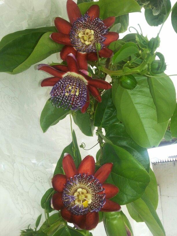 passifloras de mi patio