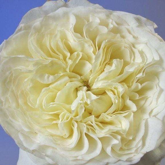 White Patience Garden Rose 186 best flowers images on pinterest | garden roses, cut flowers