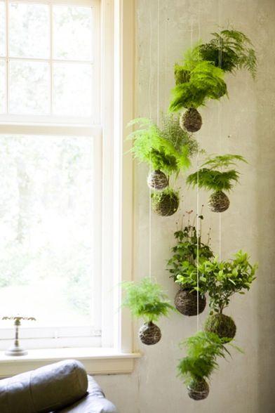plante suspendu