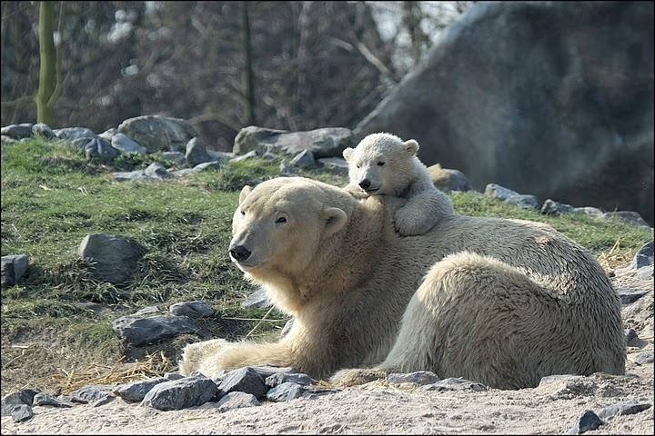 .: Bearijsbeertj Vicks, Polar Bearijsbeertj, Polar Bears Ijsbeertj, Bears Ijsbeertj Vicks
