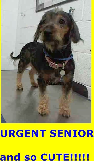 SAFE --- KIKI (A1548584) I am a female black and tan Terrier mix.  The shelter staff think I am about 9 years old.  I was turned in by my owner and I am available for adoption. — hier: Miami Dade County Animal Services https://www.facebook.com/urgentdogsofmiami/photos/pb.191859757515102.-2207520000.1433276914./986024944765242/?type=3&theater