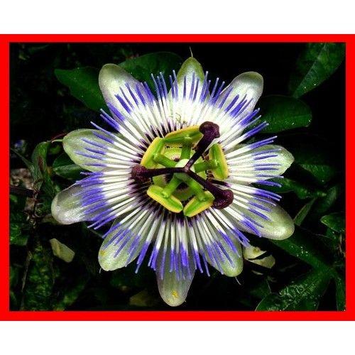 Passiflora - çarkifelek - saat çiçeği fidani ürünü, özellikleri ve en uygun fiyatların11.com'da! Passiflora - çarkifelek - saat çiçeği fidani, ev bitkisi kategorisinde! 050