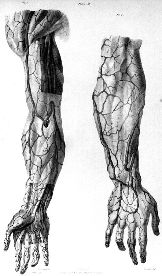66 best images about veins anatomy on pinterest | printers, Cephalic Vein