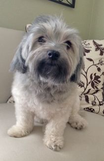 Paisley in TX - Available for Adoption from Havanese Rescue - August 2014 http://www.havaneserescue.com/index.php/our-rescue-dogs/available-for-adoption/1226-paisley-in-tx and https://www.facebook.com/Havaneserescue/photos/a.147202781997479.41503.114120341972390/815391135178637/?type=1&theater