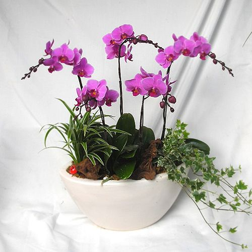 Phalaenopsis Orchids | Orchid | Phalaenopsis Orchid | Dendrobium Orchid Plants | Plant Gifts ...