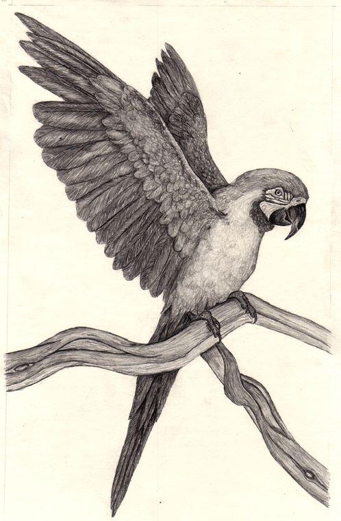 Parrot Drawings - Bing images