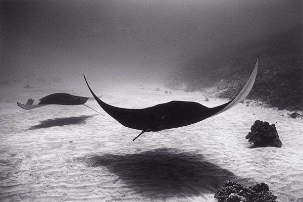 Completely smitten with Wayne Levin's beautiful b+w portfolio. Stunning stuff. Two Manta Rays over Sand | Wayne Levin