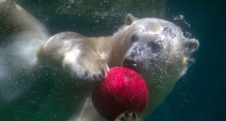 Un oso polar juega con un balón bajo el agua en el zoológico de Wuppertal, en Alemania.
