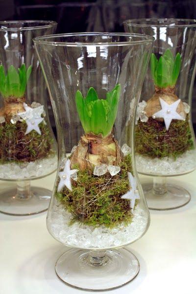 Vita hyacinter i glas. Två varianter i vårt skyltfönster. Att blommorna blir vita det ser man på att hyacintlöken är ljus, men det kanske ni...