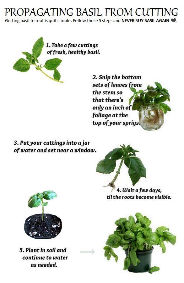 propagating basil from cuttings