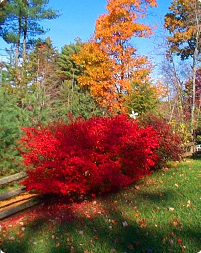 Burning Bush aka Winged Euonymus.  Place in full sun for beautiful Fall color.  Plant together for hedge, use as specimen or easily trained into tree form. Dwarf varieties available.