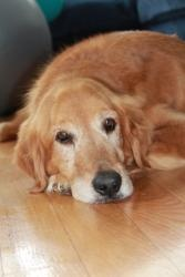 Laurel Lady is an adoptable Golden Retriever Dog in Alexandria, VA.  Click Here for our Adoption Application Laurel Lady - Beautiful Female Golden Retriever Mix looking for her Forever Home! OPH would...BTW.. OPH is a GREAT Organization!