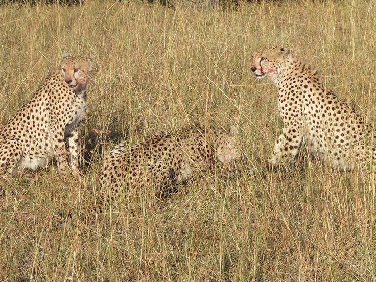 Cheetahs after Kill