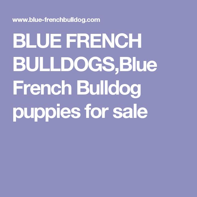BLUE FRENCH BULLDOGS,Blue French Bulldog puppies for sale