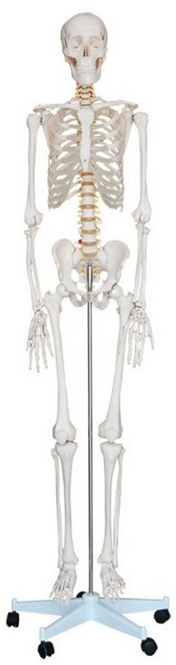 Life Size Human Skeleton Model - Skeleton Models and Skeleton Charts