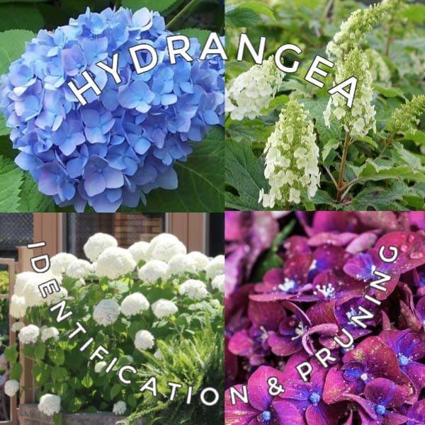 Hydrangea Tips Identify Prune Get Blooms Empress Of Dirt In 2020 Allium Flowers Spring Gardening Checklist Hydrangea Care