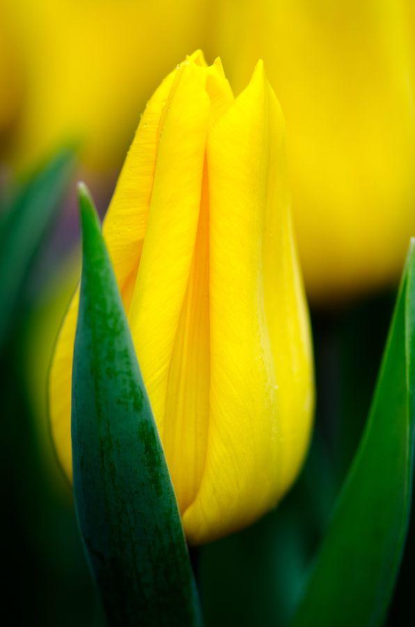 Hermoso tulipán amarillo