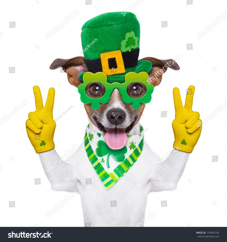 St. Patrick's Day Chihuahua   St Patricks Day Dog With Peace Fingers Stock Photo ...