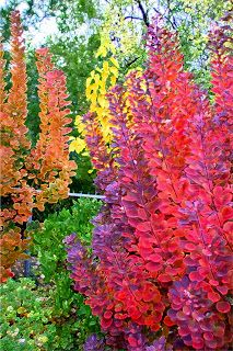 Smokebush transforms into a crimson red after a summer sprinkled with yellow flowers. Smokebush is a shrub that can be pruned into a small tree with the help of a certified arborist The Garden Plot: 10 Best Trees for Brilliant Fall Color