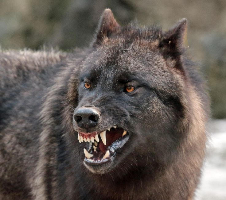 17 Best ideas about Angry Wolf on Pinterest | Wolf ...
