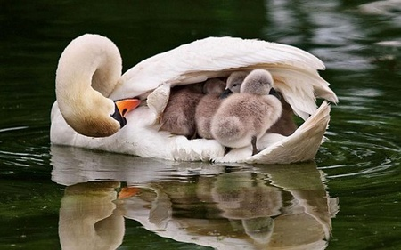 Nurturing nature.  A perfect picture of mother and children!The Ponds, Mothers Love, Sweets, Beautiful, Baby, Feathers, Families, Birds, Animal Photos