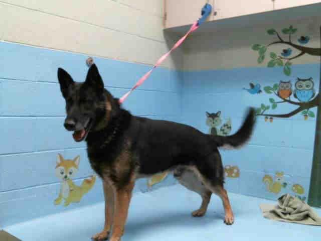 German Shepherd Dog dog for Adoption in Moreno Valley, CA. ADN-598407 on PuppyFinder.com Gender: Male. Age: Adult