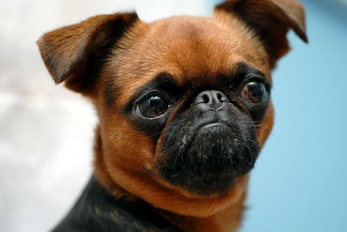 short haired Brussels Griffon