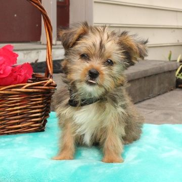 Shorkie Tzu puppy for sale in GAP, PA. ADN-38618 on PuppyFinder.com Gender: Female. Age: 11 Weeks Old