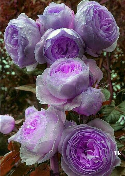 The centers of these cabbage roses are touched by the color of purple. Lovely!!!