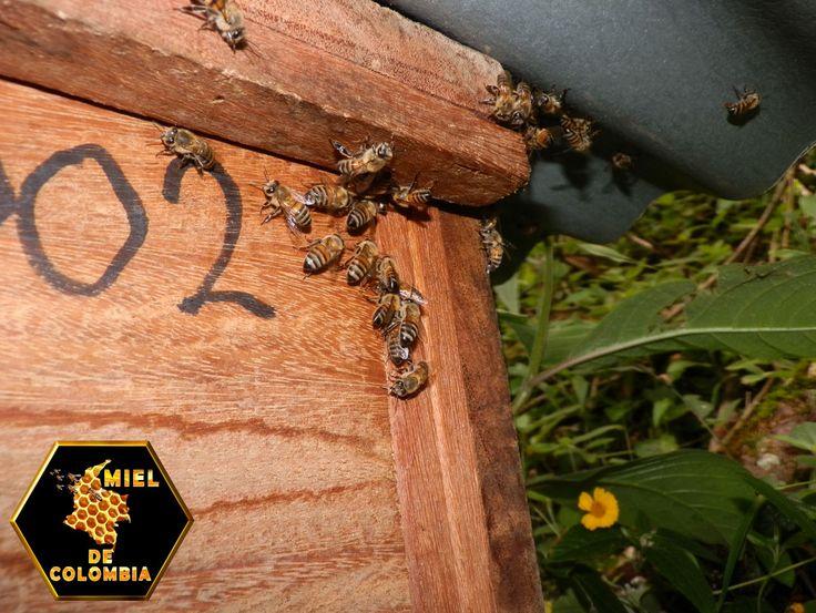 La apicultura se ha extendido por todo el mundo. Su efecto, posiblemente, sea mayor que cualquier otra rama de la agricultura y de ella depende el éxito de algunas de las otras ramas de esta actividad.