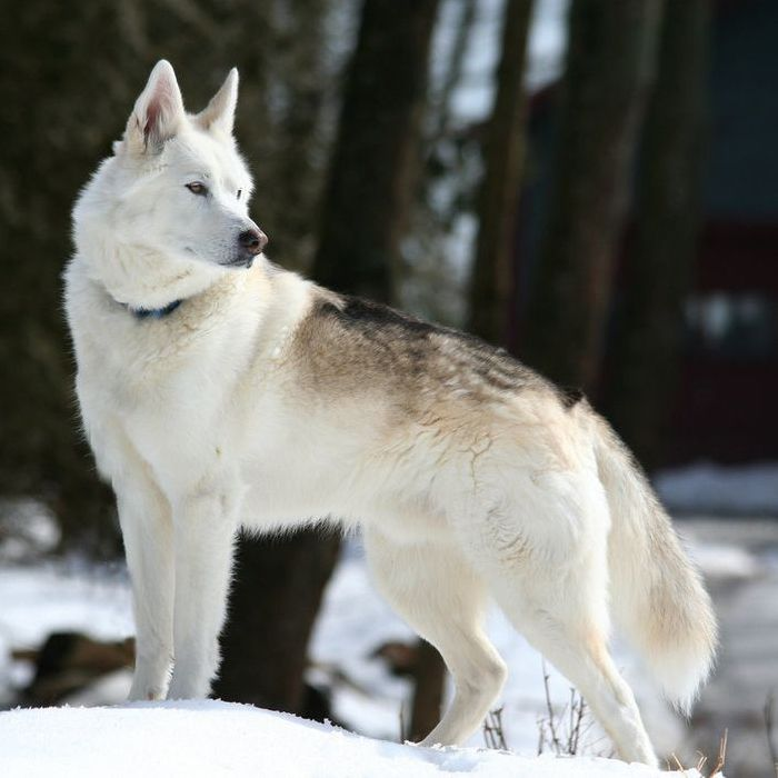 American Alsatian Dog Guide – Learn About the American Alsatian Dog Breed