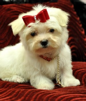 Top Puppies Bow Adorable Dog - c39c2eba95ae8e771f09f494bbd8fc20--teacup-maltese-maltese-puppies  Snapshot_166640  .jpg