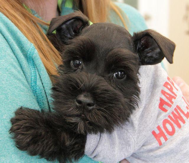 Miniature Schnauzer puppy at 8 weeks.