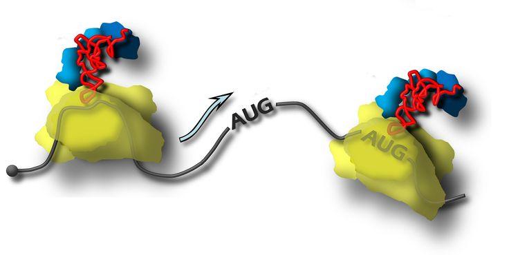 Рибосома движется по матричной РНК в поисках точки, с которой ей предстоит начать синтез белка. (Иллюстрация Сергей Дмитриев / НИИ физико-химической биологии имени А.Н. Белозерского, МГУ)