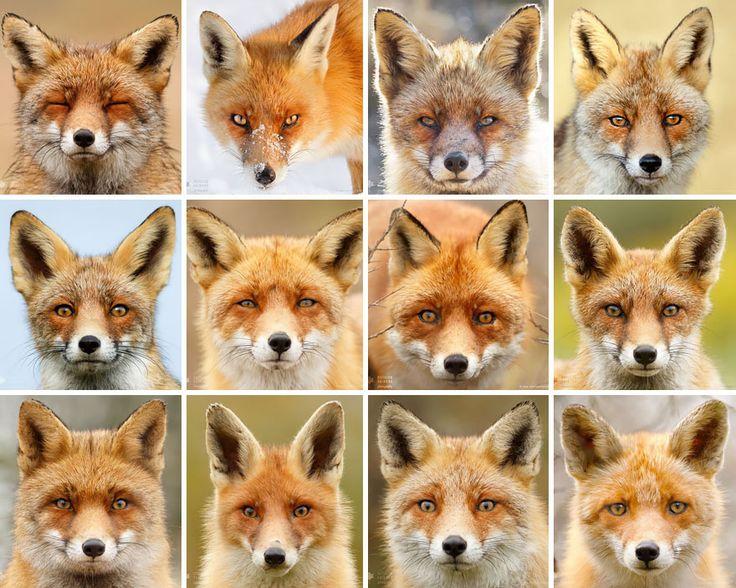 Fox Portraits ~ Each animal has a personality as uniquely distinctive as their portrait. Photographer Roeselien Raimond #red_fox #Vulpes_vulpes
