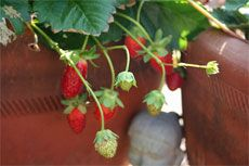 Berry Containers – How to Grow Berries In A Container