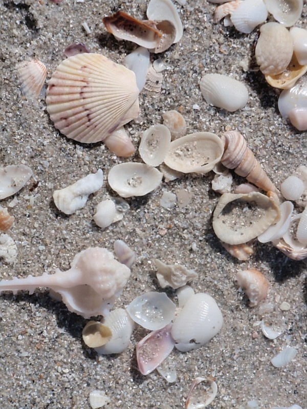 Shells on the beach in Naples Florida