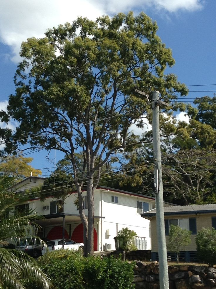 A beautiful Australian Eucalyptus (Gum) tree, that I admire from our front porch