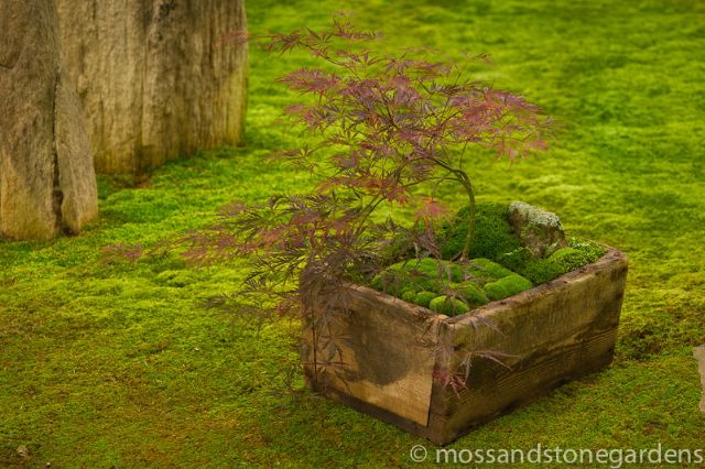 Japanese Maple with moss in an antique box.  Photographed for Country Gardens Magazine.Gardens Ideas, Ideas 2013, Boxes Gardens, Secret Gardens, Stones Gardens, Dishes Gardens, Japan Maple, Wooden Boxes, Moss Gardens