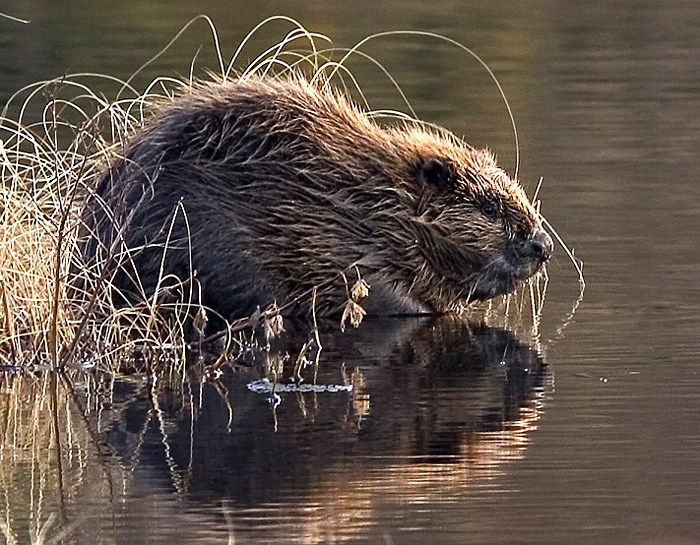 Beavers are vegetarian, felling trees to eat their bark and leaves .