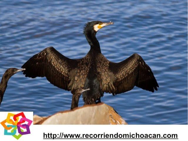 MICHOACÁN  te habla sobre los cormoranes, una de las aves que habitan en las playas como la de Maruata en Michoacán, esta ave marina, tiene la característica de que puede bucear y sumergirse hasta 10 m. de profundidad para buscar alimento, esta ave no posee aceite natural en sus plumas, por lo que pasa gran parte de su tiempo secándolas al sol. HOTEL VILLAMONTAÑA http://www.villamontana.com.mx/