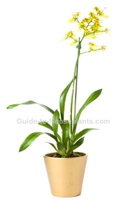 oncidium orchid, oncidium care