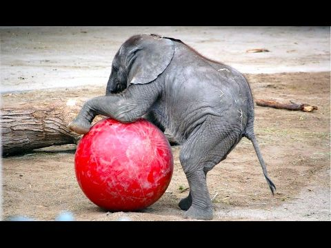 Baby Elephants Doing Baby Elephant Stuff : Video Clips From The Coolest One